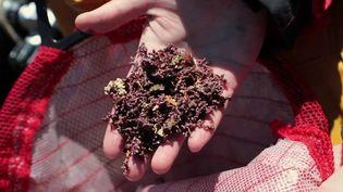 Le maërl, une algue rouge calcaire, longtemps utilisé comme engrais agricole doit faire face aux techniques de pêches industrielles. (CAPTURE D'ÉCRAN FRANCE 2)