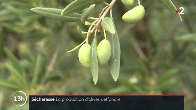 Sécheresse : la production d'olives s'effondre