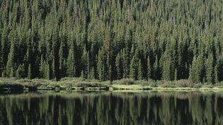 Une forêt d'Epicéa dans le Colorado, aux États-Unis. Photo d'illutsration. (JOHN SHAW / MAXPPP)