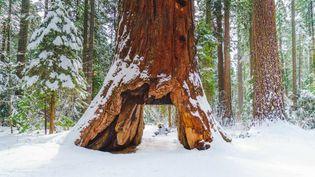 Une photo non datée du séquoia millénaire surnommé Pioneer Cabin Tree. (CALIFORNIA STATE PARKS / AFP)