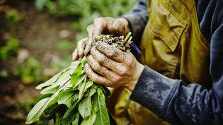 La menthe coq a été cultivée depuis le Moyen Age pour ses nombreuses qualités curatives. (GETTY IMAGES)