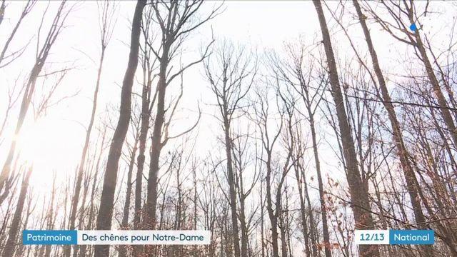 Reconstruction de Notre-Dame : les derniers chênes coupés en Alsace
