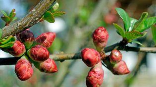 Cet arbuste magnifique annonce le printemps... (ULLSTEIN BILD / GETTY IMAGES)