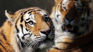 Deux tigres dans un zoo près de Turin (Italie), le 22 avril 2015. (MARCO BERTORELLO / AFP)