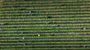 La Belgique entend concurrencer la France sur le terrain viticole. Le réchauffement climatique semble avoir ouvert de nouveaux horizons pour le plat pays. (FRANCE 2)