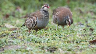 Les perdrix sont particulièrement représentées dans le déclin des oiseaux constaté dans la campagne française. (MAXPPP)