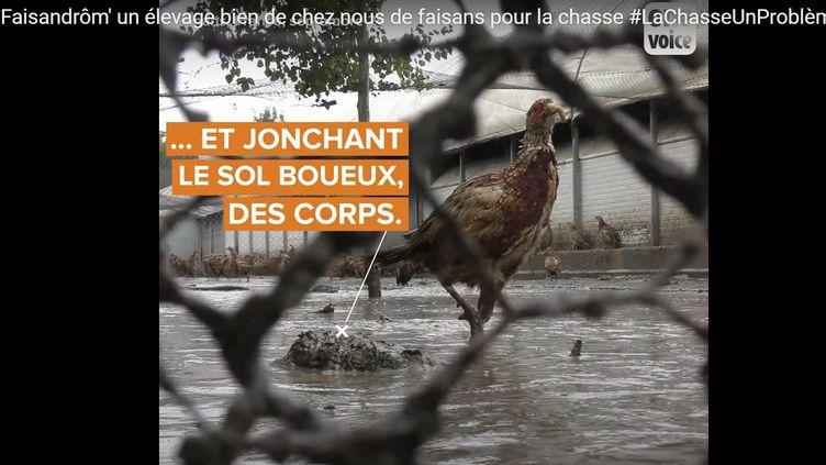 Capture d'écran de la vidéo de OneVoice dénonçantles conditions d'élevage de faisans dans une exploitation agricole de Parnans, dans la Drôme, le 7 décembre 2020. (ONEVOICE)
