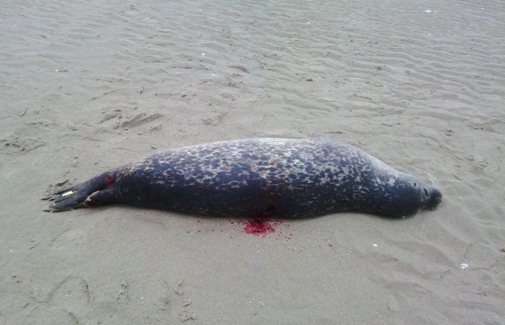 L'un des phoques retrouvés sur une plage du Touquet, le 29 avril 2018, mort d'asphyxie après avoir reçu des coups. La présence d'une bague à l'une de ses nageoires indique qu'il avait effectué un séjour dans un centre de soins, en 2014. (GDEAM-62)