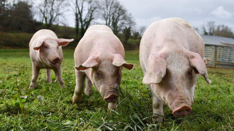 Des cochons dans une ferme d'élevage des Hautes-Pyrénées, le 8 mars 2019. (LAURENT FERRIERE / HANS LUCAS)
