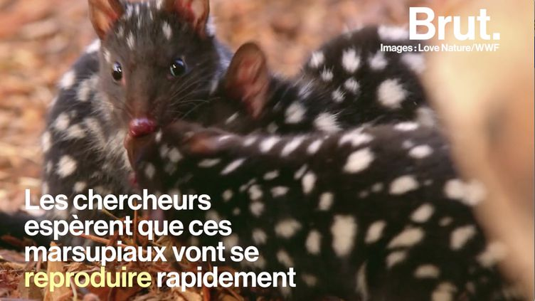 VIDEO. L'histoire du grand retour du chat marsupial à queue tachetée (BRUT)