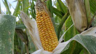Un maïs OGM dans un champ, le 16 décembre 2010. (ALAIN LE BOT / PHOTONONSTOP / AFP)