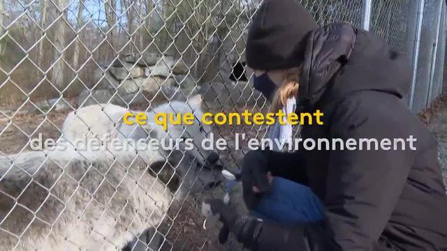 États-Unis : les loups en danger