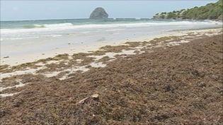 Les algues sargasses reviennent encore aux Antilles.Ici, la plage du Diamant en Martinique. (MARTINIQUE 1ERE)