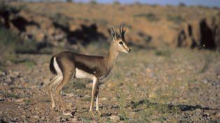 La gazelle dorcas, une espèce menacée. (MICHEL GUNTHER / BIOSPHOTO/ AFP)