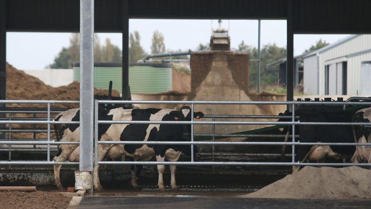 """Une vache dans la """"ferme des mille vaches"""", à Drucat (Somme), photographiée le 17 octobre 2014. (MAXPPP)"""