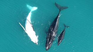 Image non datée d'une baleine franche avec son baleineau blanc, prise au large de la côte ouest australienne et publiée le 6 septembre 2016. (FREDERIK CHRISTIANSEN / MURDOCH UNIVERSITY / AFP)