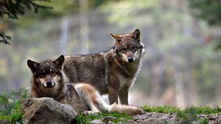 En France, le nombre de loups est estimé à 360. (ERIC GAILLARD / REUTERS)