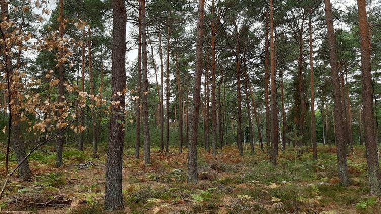 La forêt de Fontainebleau, en août 2020. (ANNE-LAURE BARRAL / RADIO FRANCE)