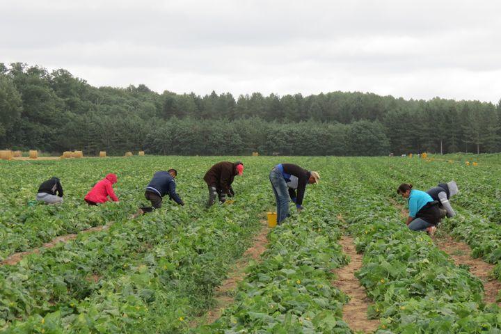 Récolte de cornichons à la fraîche. (ISABELLE MORAND / REITZEL / FRANCE INFO / RADIO FRANCE)