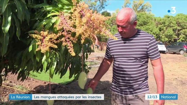 La Réunion : les mangues attaquées par les insectes