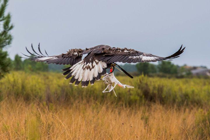 Le taux de réussite est très élevé. Les aigles royaux prennent les drones pour des gibiers et les interceptent à la demande des fauconniers. (CAPORAL-CHEF SUHAS DAVID / ARMÉE DE L'AIR)