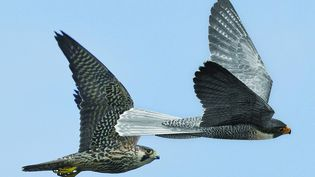 Le drone oiseau Robird de Pilgrim. (PILGRIM)