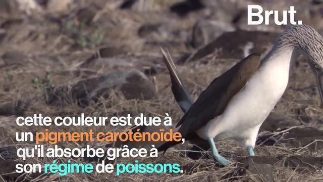 Les étonnants pieds de cet oiseau du Pacifique, d'une couleur bleu vif, lui ont donné son nom. Mais c'est avant tout un instrument de séduction.