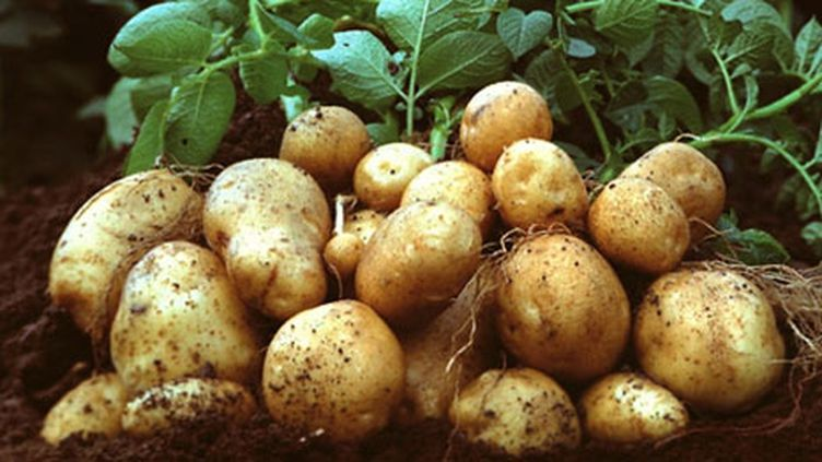 Des pommes de terre génétiquement modifiées (par BASF) Amflora (AFP - HO - BASF)