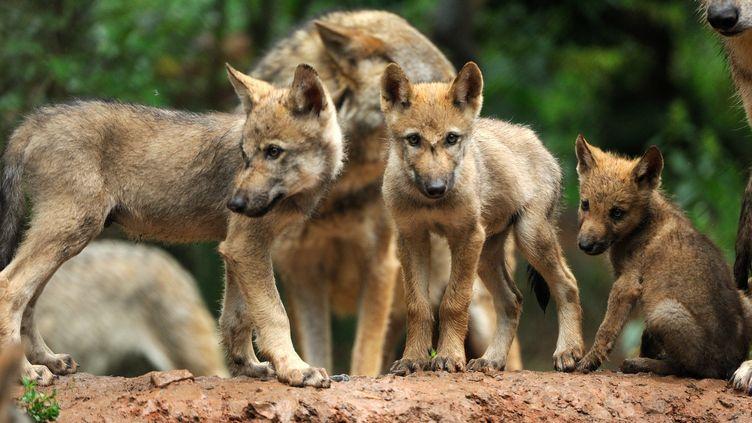 Des loups en Allemagne, le 14 juillet 2015. (REINER BERNHARDT / PICTURE ALLIANCE)