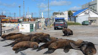 Des otaries se prélassent sur un quai du port de la station balnéaire de Mar del Plata, au sud de Buenos Aires (Argentine). (MARA SOSTI / AFP)