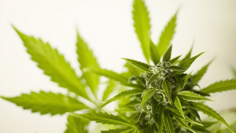 Cannabis : les Français, plus gros consommateurs en Europe (Crédits Photo : © Pixabay / M. Maggs)