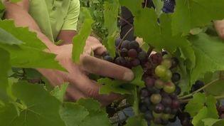 Vin : de mauvaises vendanges à cause du gel et du mildiou (France 2)