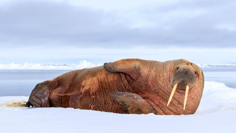 Un morse sur la banquise dans l'océan Arctique. (JON CORNFORTH  / MEDIADRUMWORLD.COM / MAXPPP)