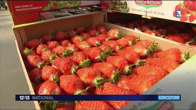 Agriculture : la fraise gariguette est en avance