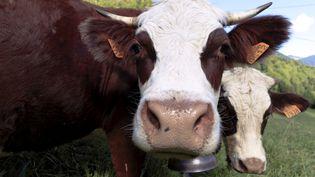 Une vache de la commune du Biot, en Haute-Savoie. (GR?GORY YETCHMENIZA / MAXPPP)