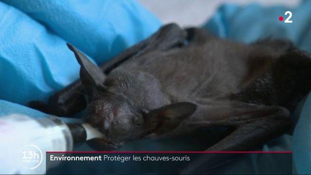 Environnement : comment protéger les chauves-souris ?