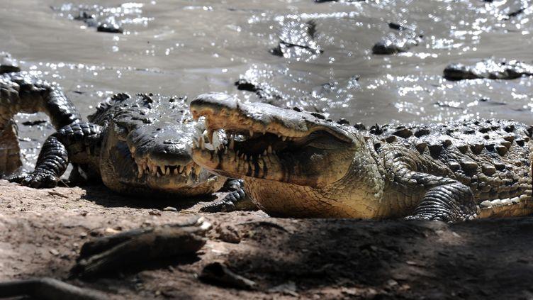 Des crocodiles affamés dans une ferme de la ville de San Manuel au Honduras, le 1er novembre 2015. (ORLANDO SIERRA / AFP)