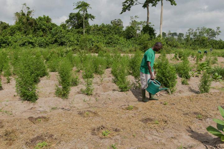 Un champ expérimental d'artémisia près d'Adzope en Côte d'Ivoire. Certains lui prêtent des vertus dans le traitement de la malaria. Photo réalisée en 2019. (SIA KAMBOU / AFP)