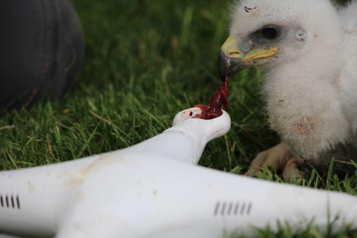 Né en mai 2016, ces quatre aigles ont été élevés dès leurs premiers jours au contact de carcasses de drones. Objectif : leur faire croire qu'il s'agit de proies. (Armée de l'Air)