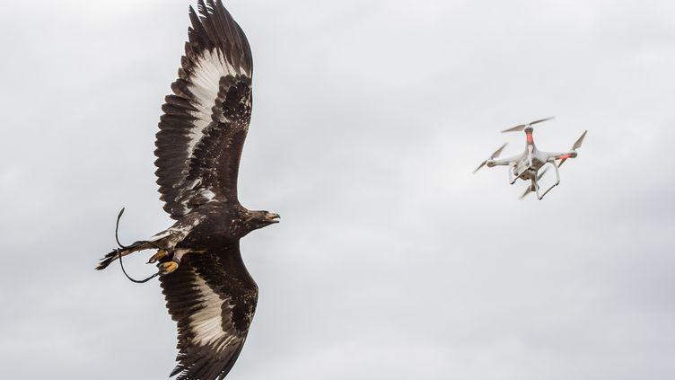 Les oiseaux sont arrivés à l'âge de cent jours le 3 septembre sur la base de Mont-de-Marsang et travaillent désormais de façon quotidienne. (CAPORAL-CHEF SUHAS DAVID / ARMÉE DE L'AIR)