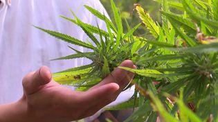 C'est à titre expérimental, mais le cannabis thérapeutique est autorisé en France. En Gironde, une jeune entreprise s'est lancée dans cette culture, c'est un marché en pleine expansion. (Capture d'écran France 3)