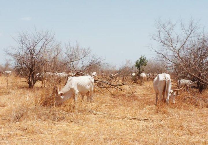 Pâture d'un troupeau de zébus dans la zone du Ferlo (Sénégal). (Pierre Hiernaux)