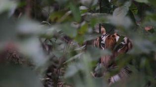 Le tigre du Bengale protégé dans une réserve au Népal (CAPTURE ECRAN FRANCE 2)