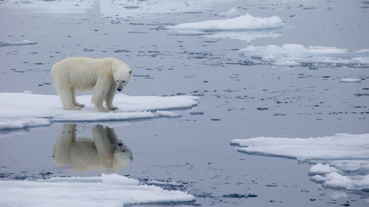 Un ours polaire se tient sur la banquise, au Svalbard, en Norvège, le 21 juillet 2013. (KT MILLER / POLAR BEARS INTERNATIONAL / AFP)