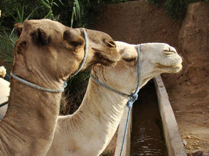 On estime à 350000 le nombre de dromadaires en Algérie, animal emblématique et indispensable à la vie économique et sociale. (M. Moudjou, Author provided)