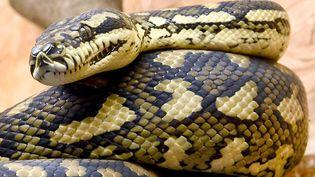 Un python dans un centre animalier, à Sachsenhagen (Allemagne), le 3 février 2017 (photo d'illustration). (HOLGER HOLLEMANN / DPA)