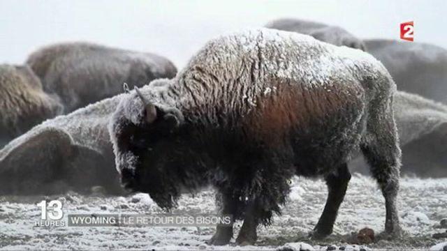 États-Unis : le retour des bisons dans le Wyoming