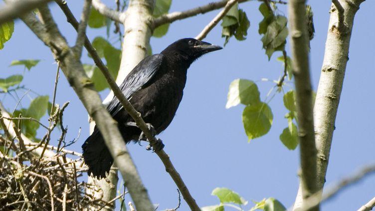Un corbeau freux photographié en 2008. (NEVEU P/HorizonFeatures/Leemage / AFP)