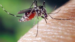 Un moustique tigre femelle gorgé de sang. (CDC / BSIP/AFP)