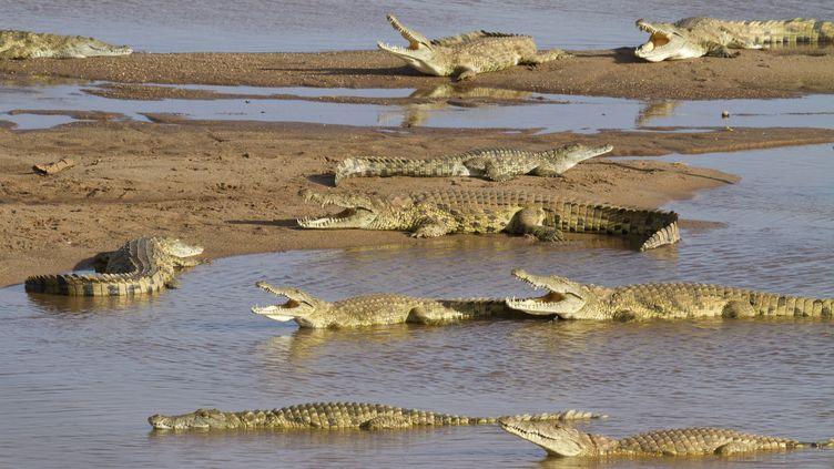 Des crocodiles en Afrique du Sud. (JEAN-JACQUES ALCALAY / BIOSPHOTO / AFP)